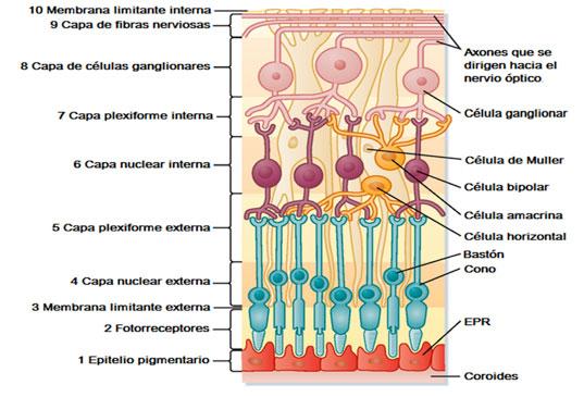 las capas de la retina y sus funciones