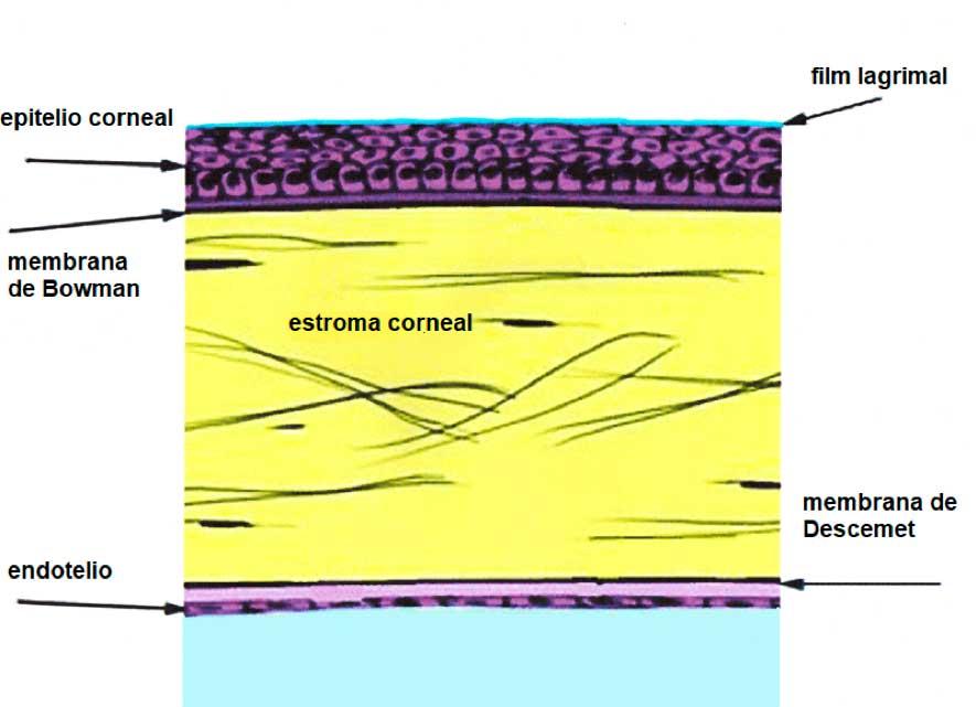 Esquema de partes de la córnea